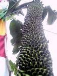 pisang sisir seribu